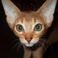 Цвет глаз кошки