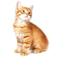 Основные принципы генетики окрасов кошек