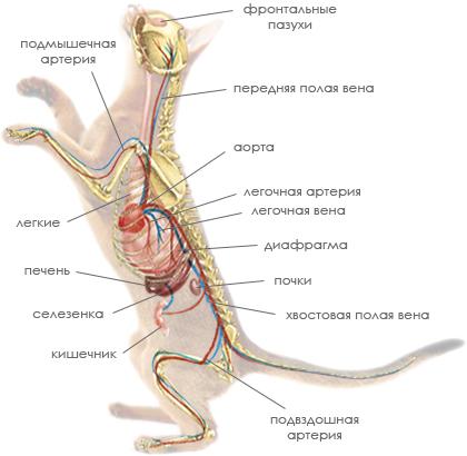 Через глотку, которая относится как к дыхательному, так и к... Основная функция дыхательной системы - эффективное...