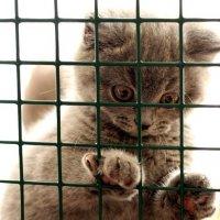 Выставочная карьера кошек по системе WCF