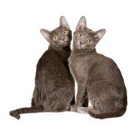 Породы кошек, признанные CFA