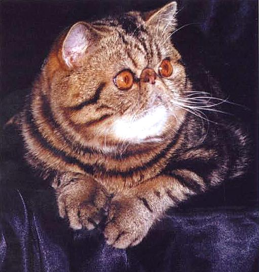 фото кошек породы экзотическая