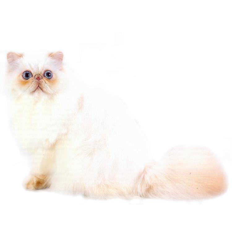 Топ-10 самых ласковых кошачьих пород