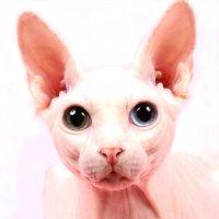 Цвет глаз кошек, генетически обусловленные проблемы и сложности