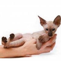 Ориентальная кошка - воплощение грациозности