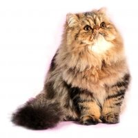 Мисс совершенство персидская кошка