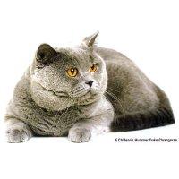 Британская кошка – гость с туманного Альбиона