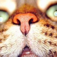 Кошачий нос