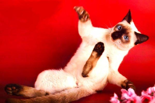 Сиамские кошки.  Мурлыки.ру.  Сиамская кошка характер, уход, болезни .  Как назвать котенка мальчика, котенка .