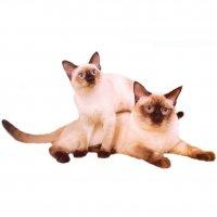Непростая судьба тайских кошек