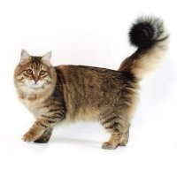 Сибирские кошки. Опыт племенной работы