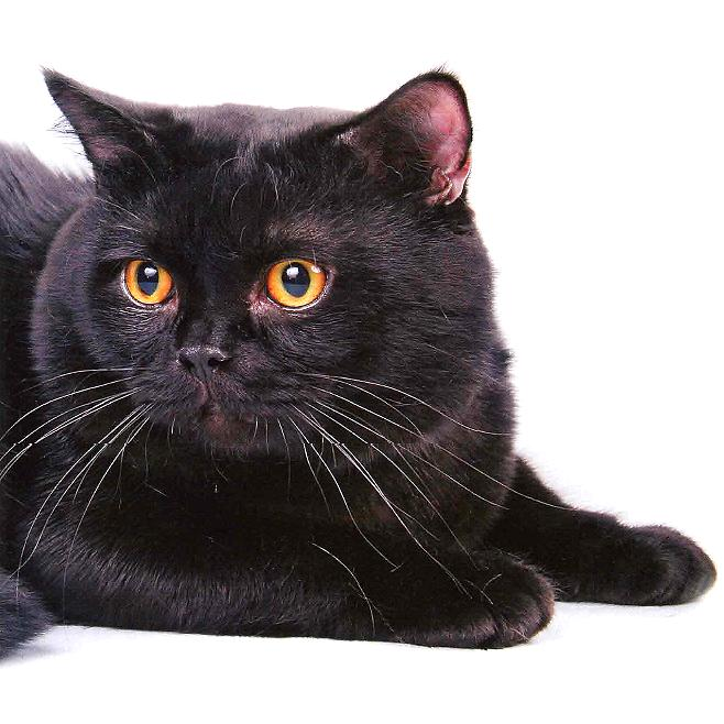 Какая порода у черных котов