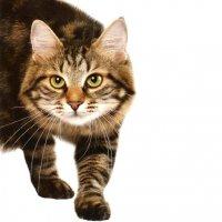 Содержание кота-производителя, вязка кошек