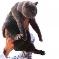 Кошка на экспертизе. Как показать кошку на Best in Show