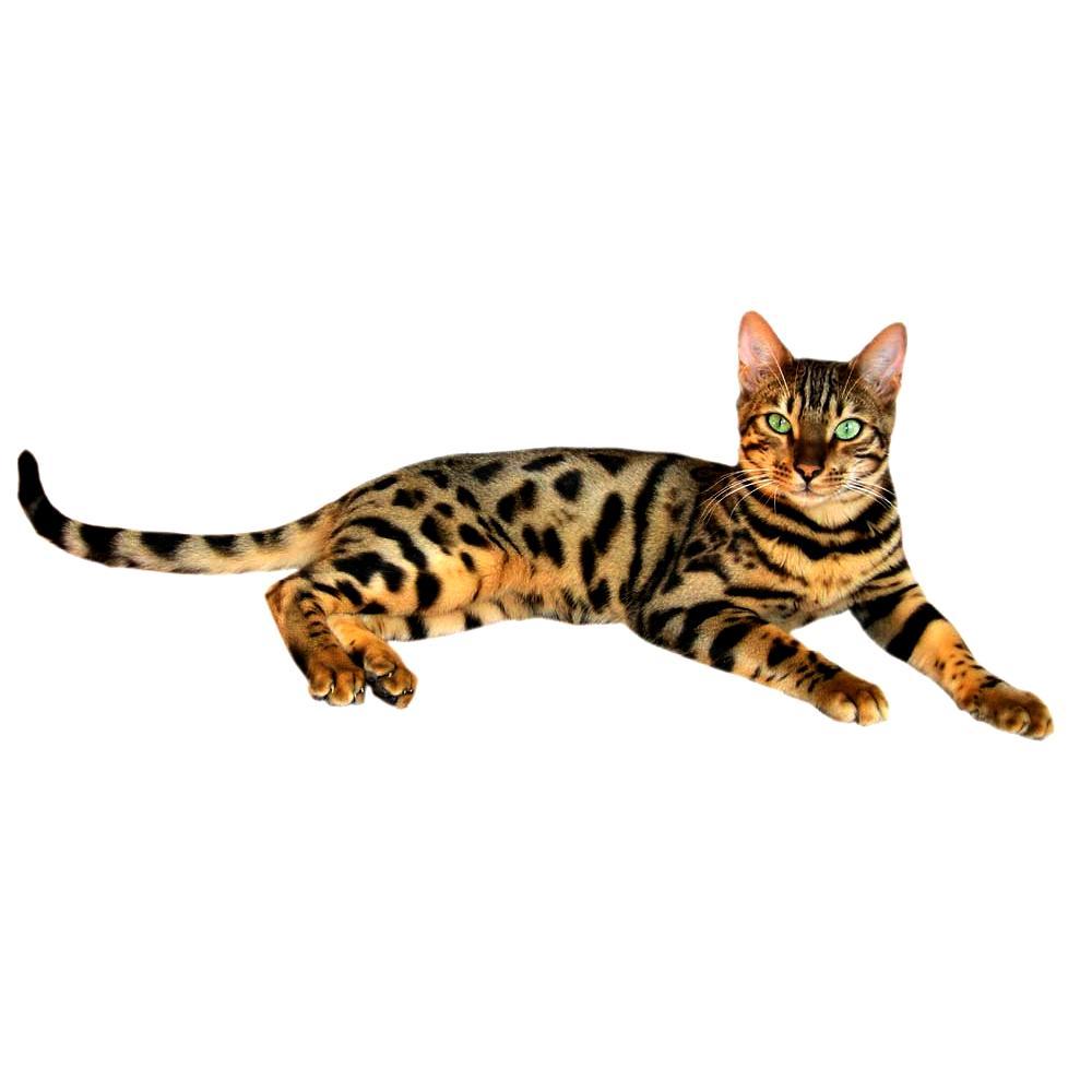 Бенгальская кошка загадочные кошки