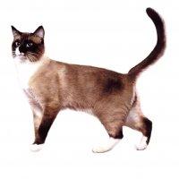 Сноу-шу - разборчивые кошки в башмачках