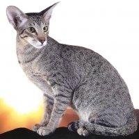 Ориенталы - коты восходящего солнца