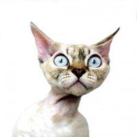 Генетические и наследственно обусловленные аномалии развития кошек