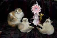 Питомник шотландских кошек Angel Valery