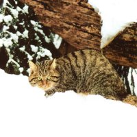Дикая кошка  - прародительница мурки