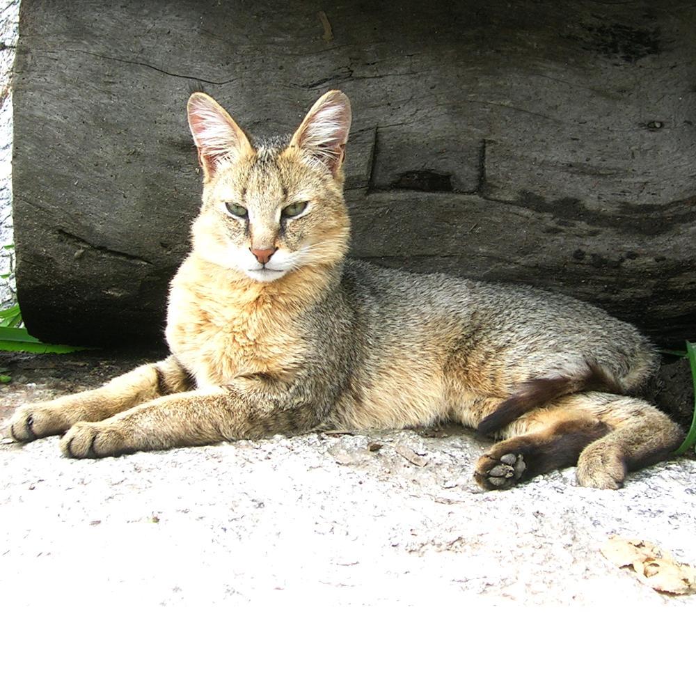 Фото камышовых котов домашних условиях